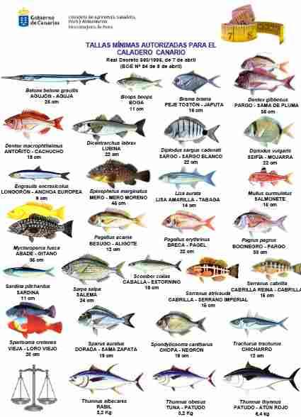Mindestmasse fische kanaren kanarische inseln for Fische arten